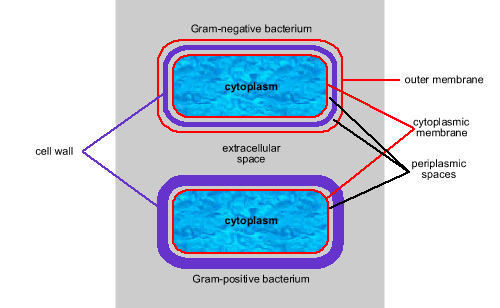 Defense against diseaseimmune bacteria that retain the color of the dye are called gram positive bacteria ccuart Image collections